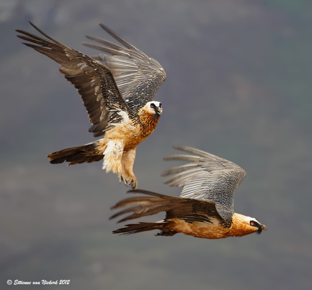 Here are two lovely bearded vultures playing in the air. Bearded vultures play games of tag and chase, as well as toss and catch objects between them in midair.
