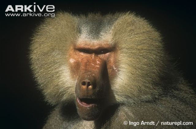 Male-hamadryas-baboon-showing-scars-from-fight-on-face