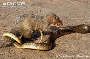 Indian-grey-mongoose-attacking-a-snake