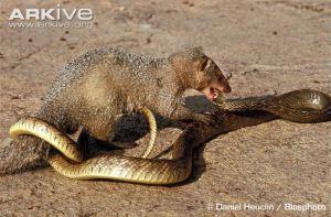 Indian-grey-mongoose-attacking-a-snake
