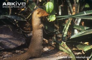 Indian-grey-mongoose-in-alert-posture-on-hind-legs