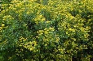 Ruta graveolens (30/06/2012, Kew gardens, London). Please do not eat.